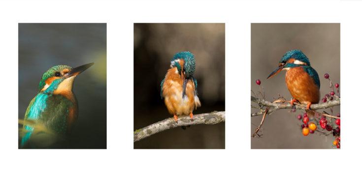 Kingfisher Style v2